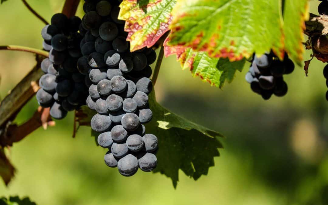 Zabezpieczenie winorośli przed zimą