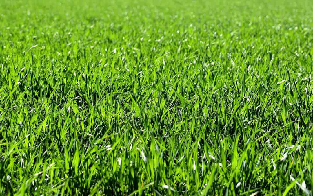 Wapnowanie – ważny zabieg dla trawnika